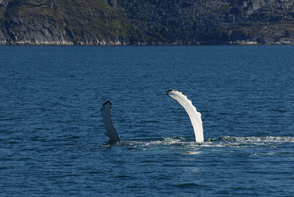 Things to do in Greenland : Whale Watching