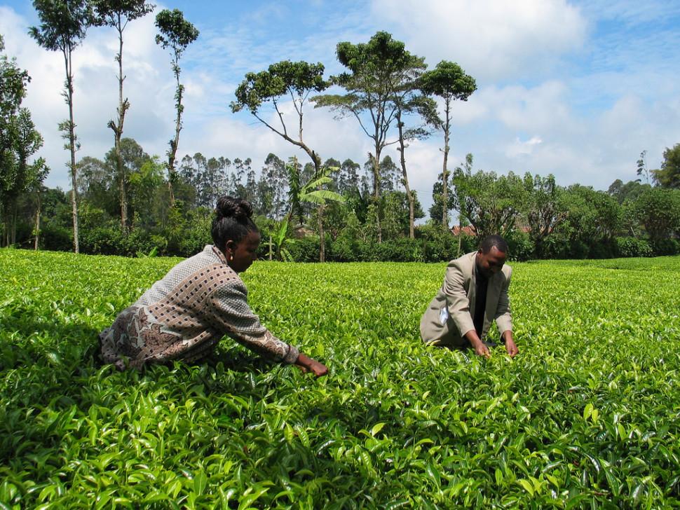 Things to do in Kenya : Tea Growing Season