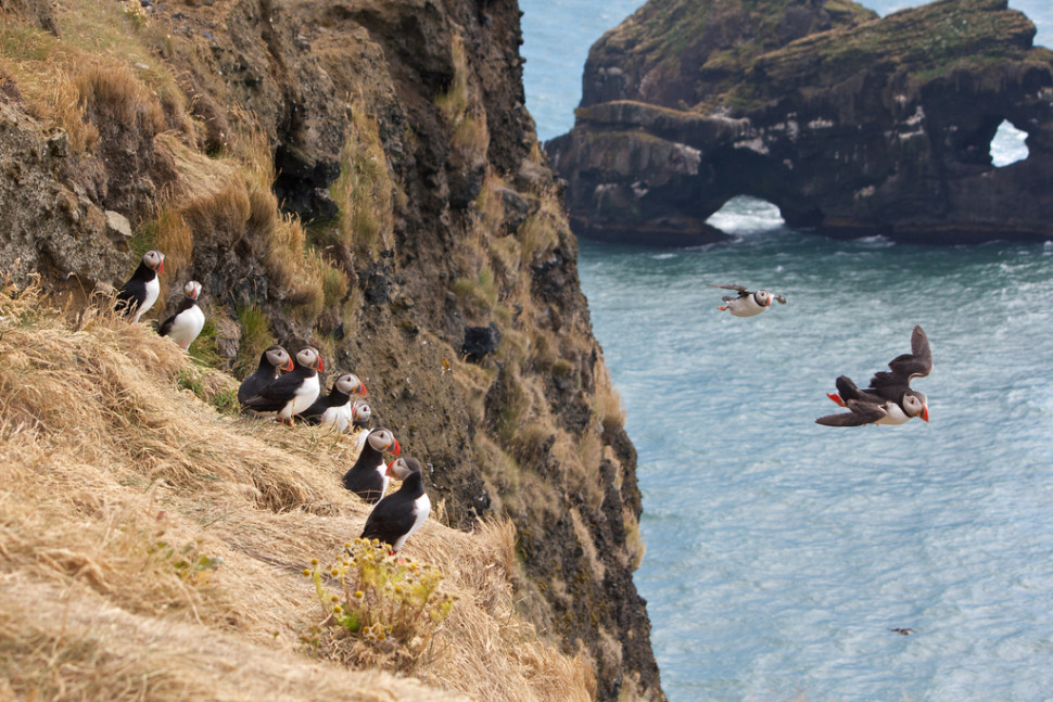 Things to do in Iceland : Atlantic Puffins