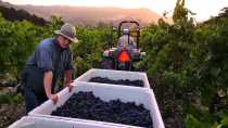 Napa Valley Harvest Season