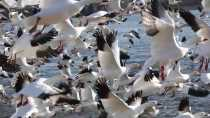 Snow Geese Fall Migration