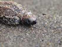 Stagione di nidificazione delle tartarughe