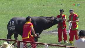 Do Son Buffalo Fighting Festival