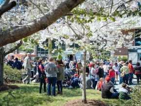 International Cherry Blossom Festival in Macon