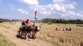 Makepung Buffalo Races