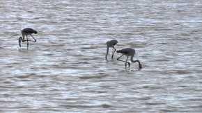 Flamingoes in Ses Salines Natural Park