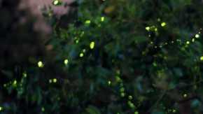 Flashing Fireflies of Kampung Kuantan