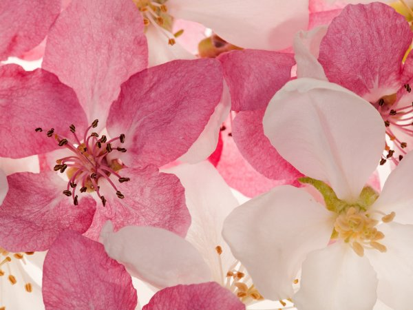Wall Mural R11211 Apple Blossom image 1 by Rebel Walls
