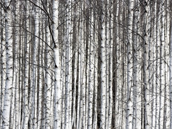 Wall Mural R13031 Birch Trunks image 1 by Rebel Walls