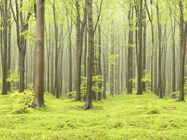Wall Mural R10101 Deciduous Forest image 1 by Rebel Walls