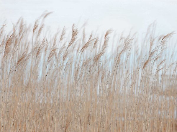 Wall Mural R13602 Swaying Reed image 1 by Rebel Walls