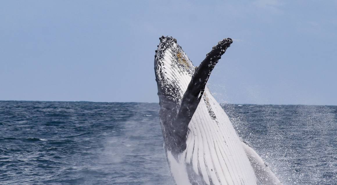 Catamaran Cruise and Swim with Humpback Whales