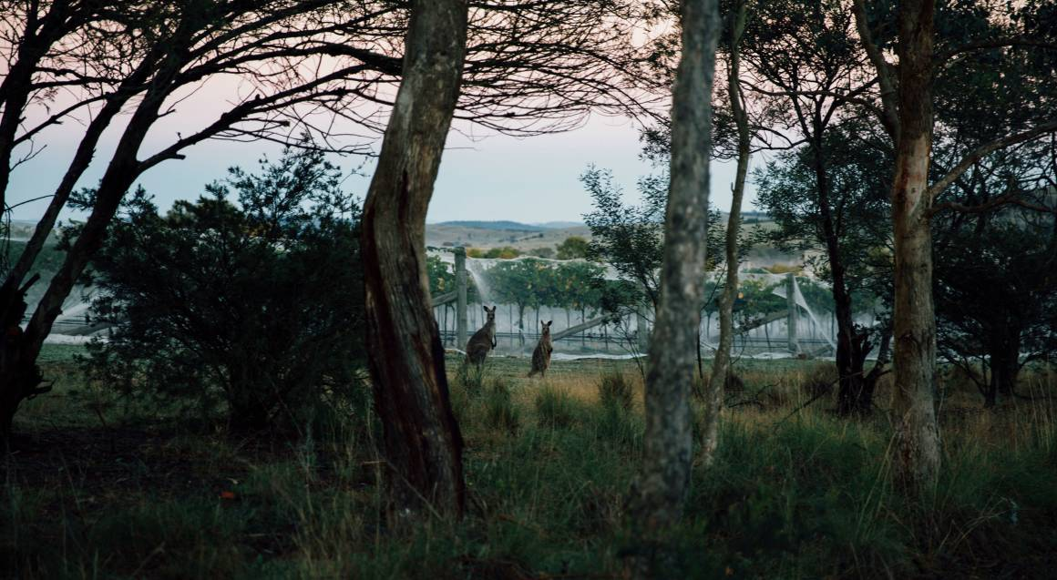Contentious Character vineyard at sunset with kangaroos