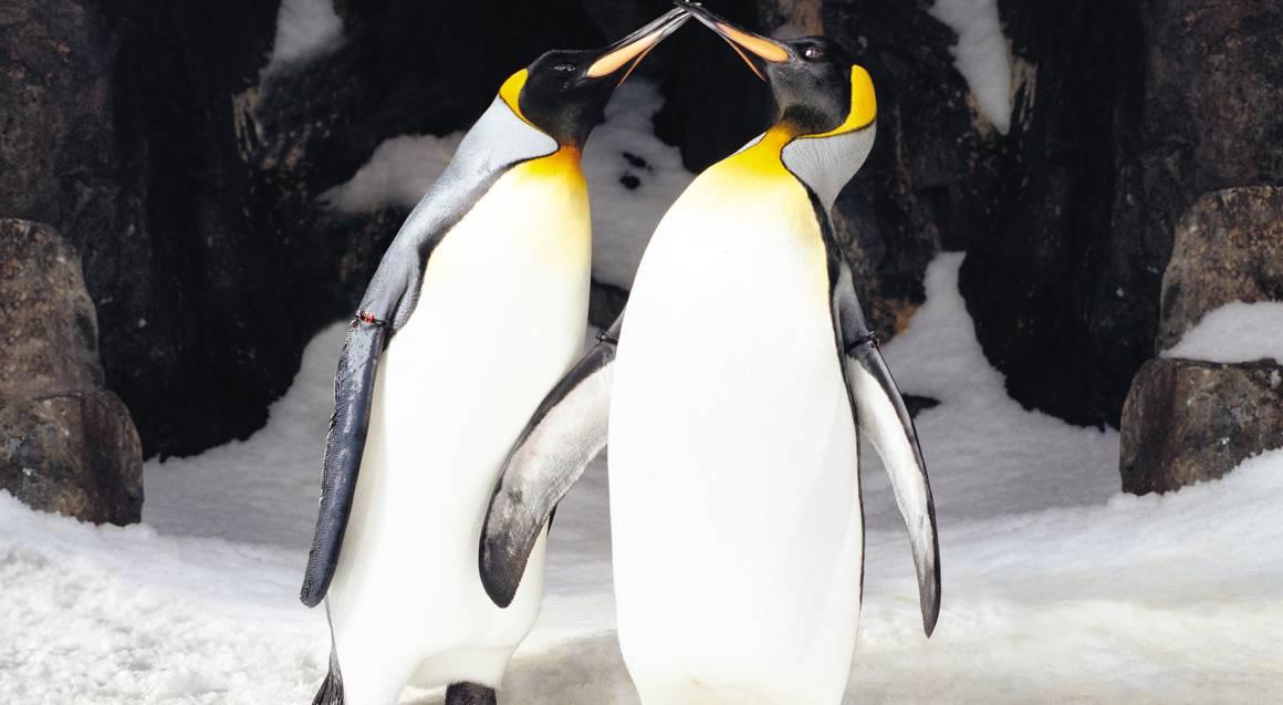 penguins at sea world gold coast