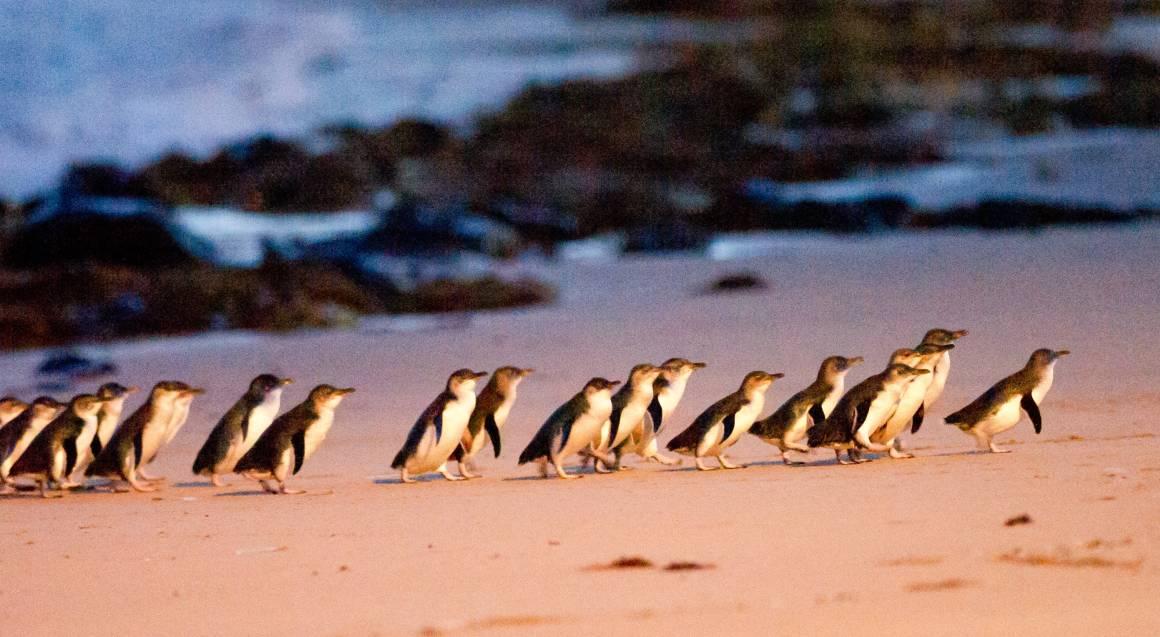 Penguin Parade Wildlife Tour - Full Day