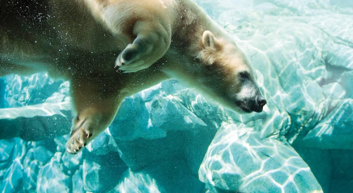polar bear swimming at sea world gold coast