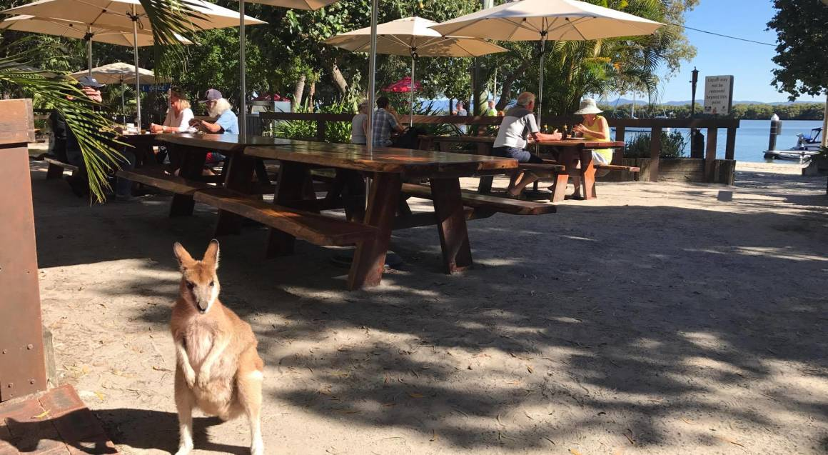 kangaroo at island beach bar
