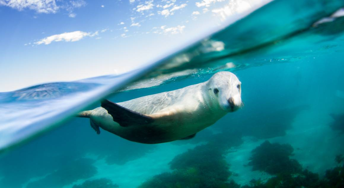 Swim with Sea Lions in Port Lincoln - Adult