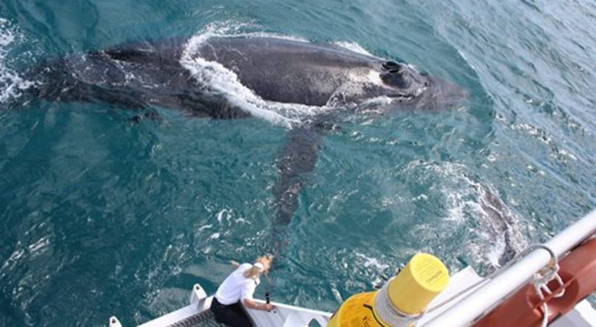 Brisbane Whale Watching Cruise with Transfers