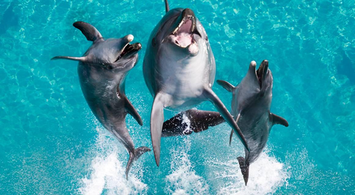 dolphin show jumping at sea world gold coast