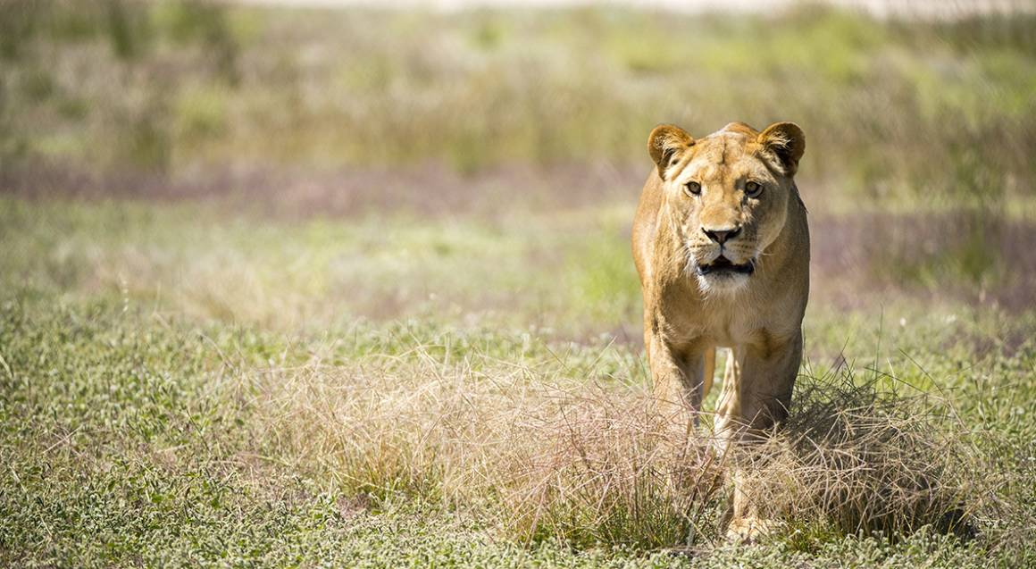 Monarto Zoo Entry with Lions 360 Experience and Lion Feeding