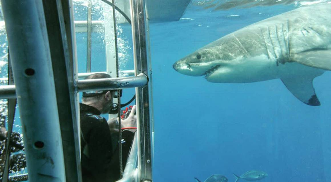 great white shark observing in their natural habitat