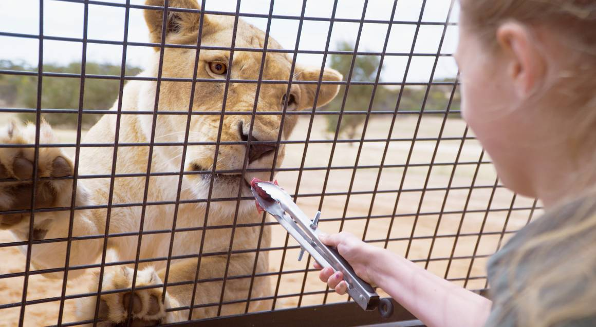 lion being fed through cage bars at monarto zoo