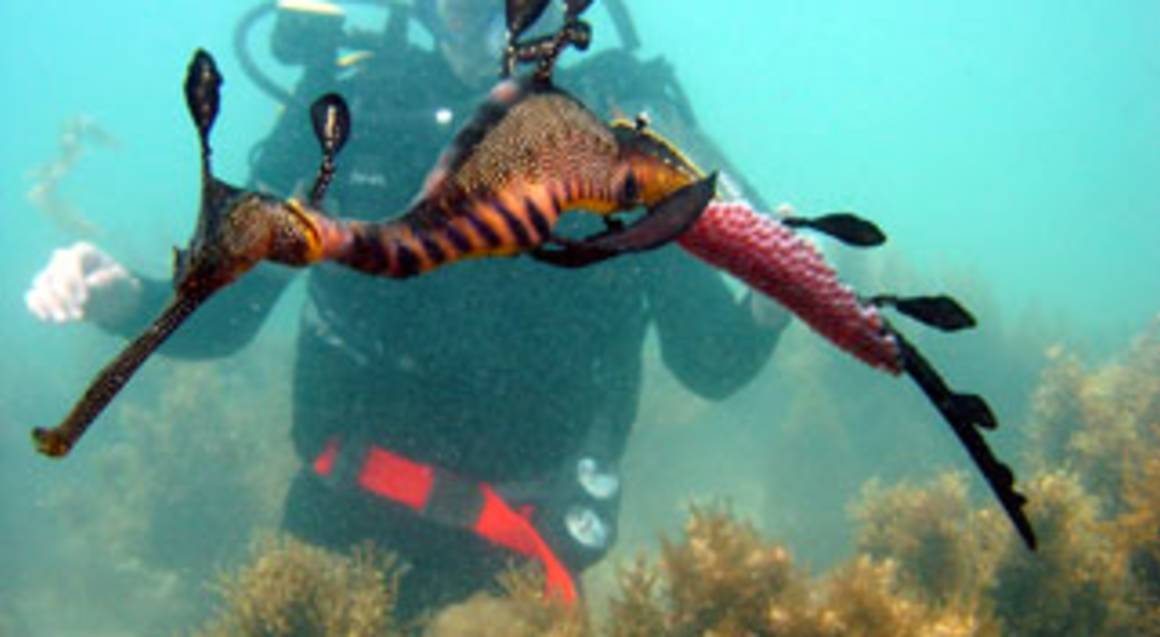 Snorkeling with Sea Dragons and Peninsula Hot Springs- Adult