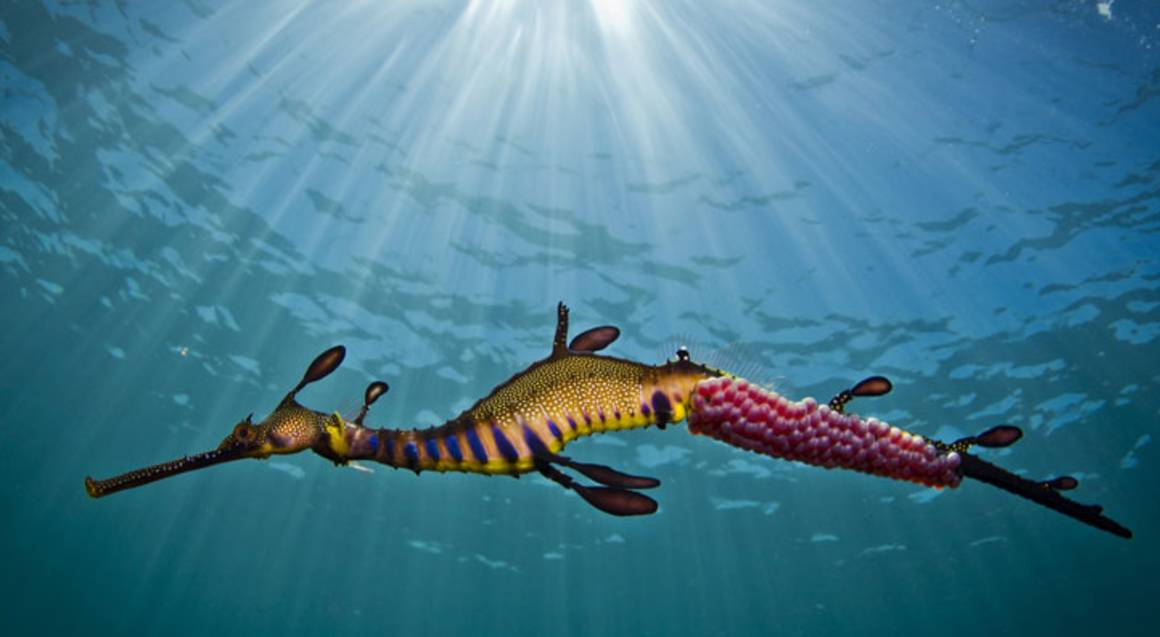 Snorkelling with Sea Dragons - 2 Hours