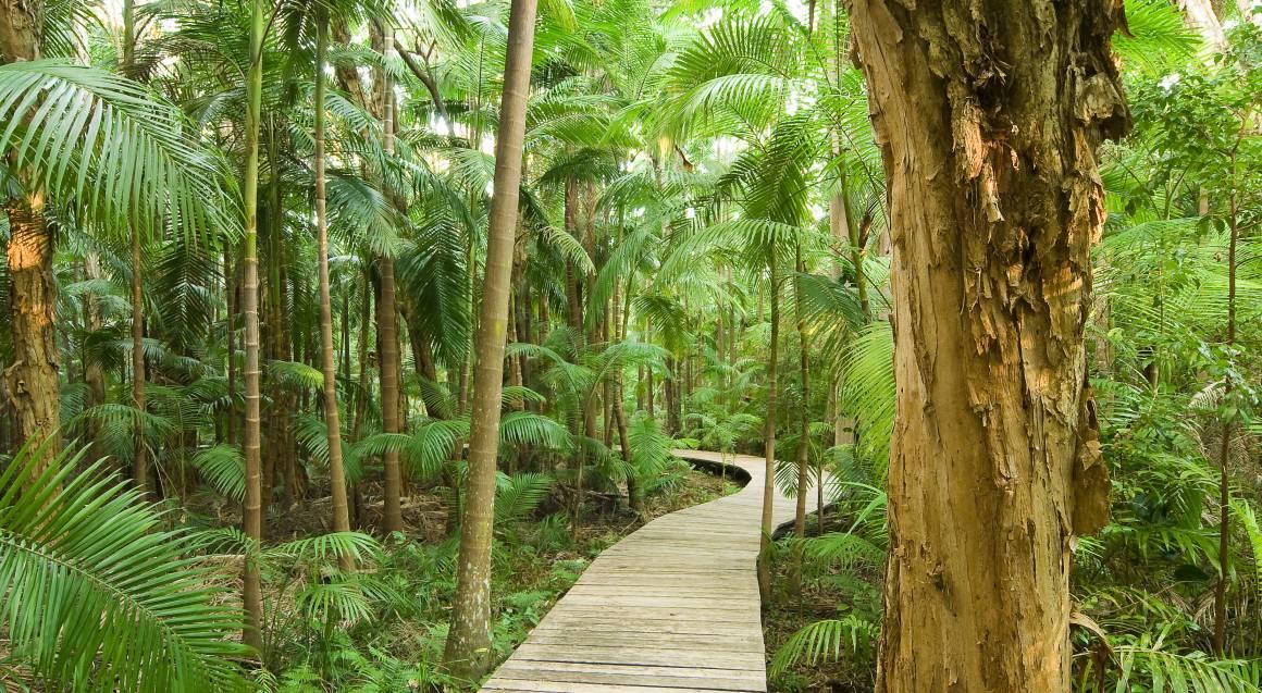 wooden board walk through lush green rainforest