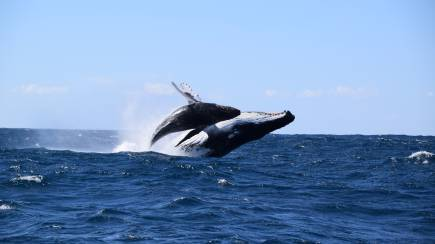 RedBalloon Whale Watching and Speed Boat Thrill - 2 Hours - For 2