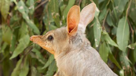 RedBalloon Adopt a Bilby from Currumbin Wildlife Sanctuary - 1 Year