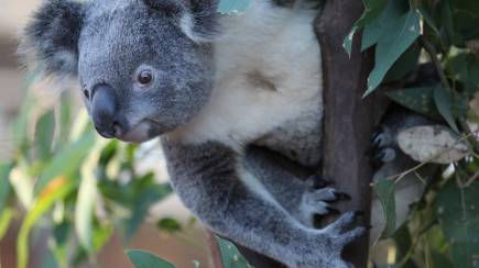 RedBalloon Koala Encounter and Breakfast at WILD LIFE Sydney Zoo