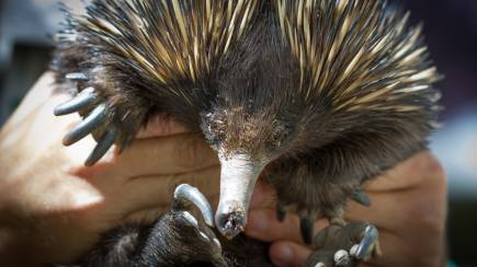 RedBalloon Adopt an Echidna from Currumbin Wildlife Sanctuary - 1 Year