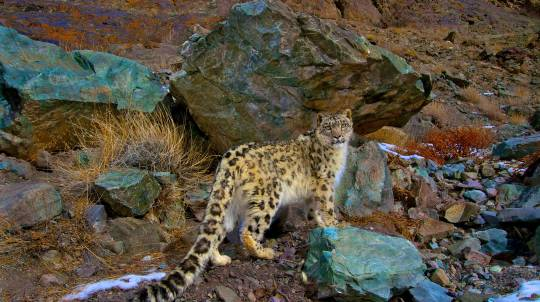 Snow Leopard Tracking in India - Hiking Trip - 15 Nights