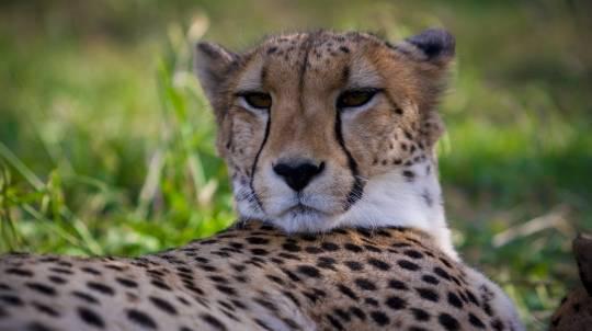 Cheetah Encounter at the National Zoo - Weekend