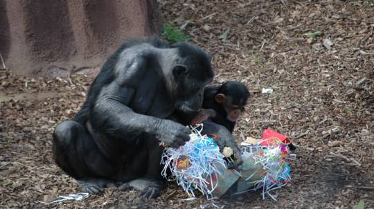 Chimps Encounter at Monarto Zoo