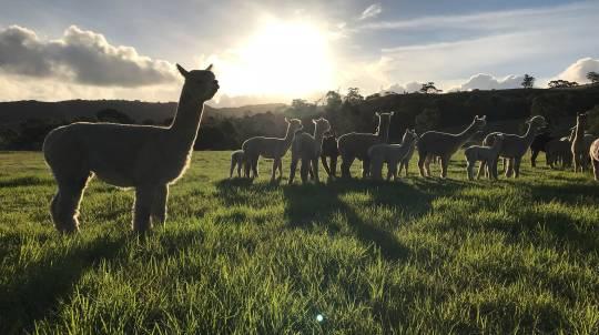 Softfoot Sanctuary Alpaca Farm Tour - 2 Hours