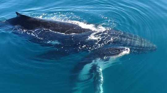 Seasonal Whale Watching Cruise in Sunshine Coast