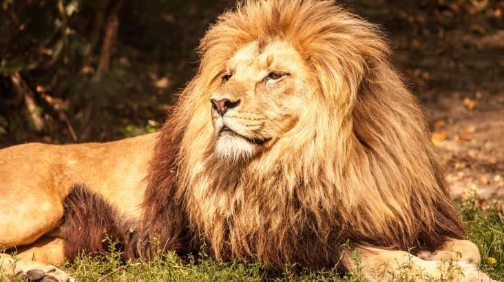 Lions at Bedtime - Monarto Zoo