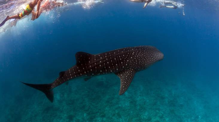 RedBalloon Swim with Whale Sharks Cruise with Lunch and Gift Pack