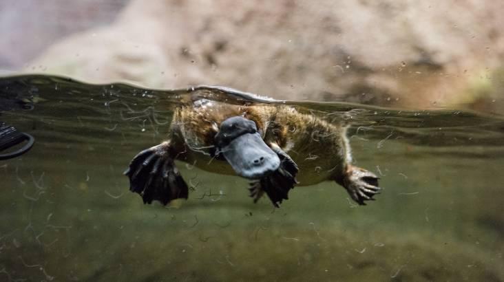 Platypus Encounter at Healesville Sanctuary