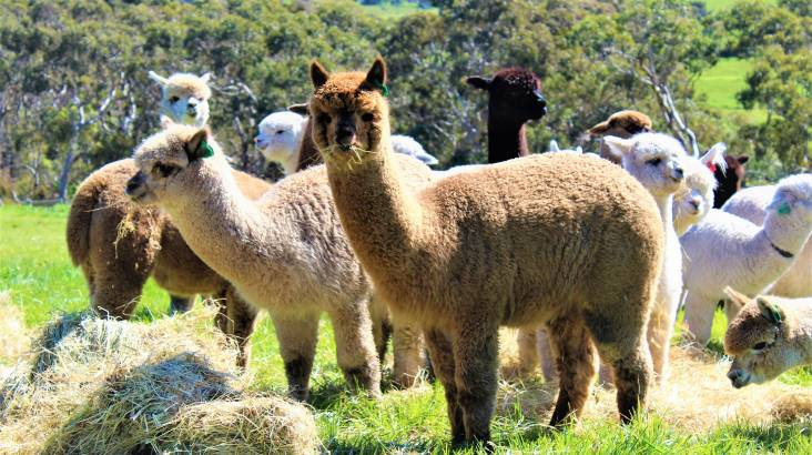 Softfoot Sanctuary Alpaca Farm Tour - 60 Minutes