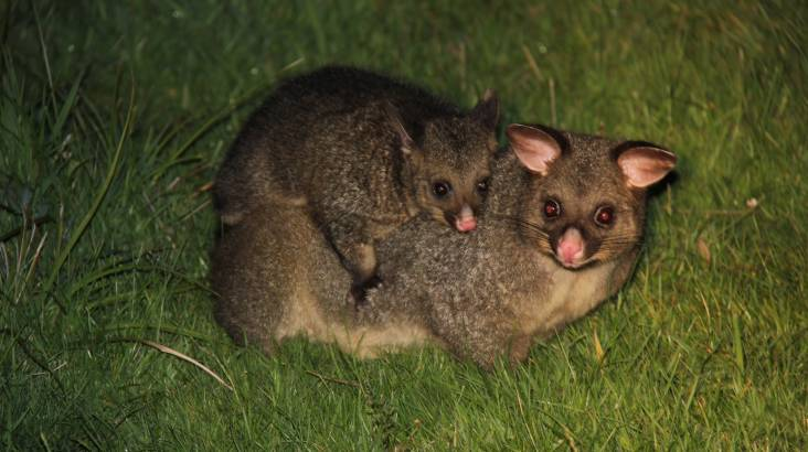 Quoll Wildlife Spotting and Gourmet Campfire Dinner - For 4