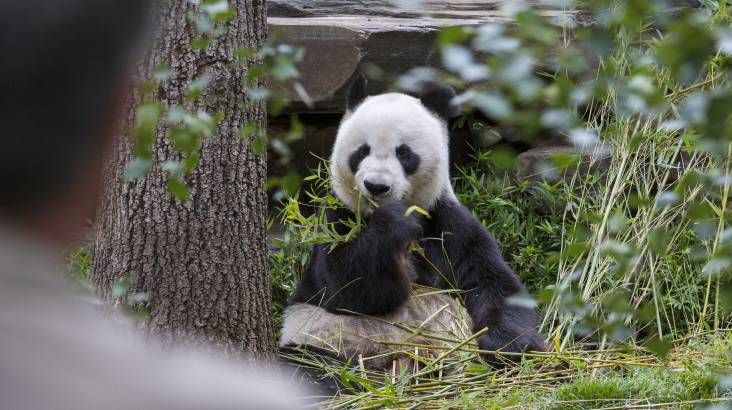 Behind the Scenes Panda Encounter at Adelaide Zoo with Photo