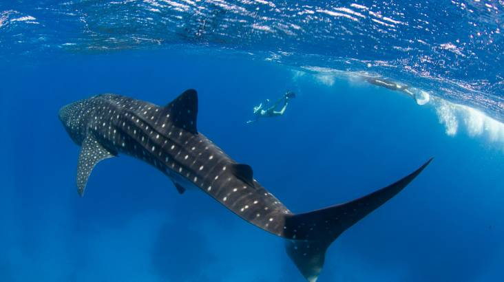 RedBalloon Private Whale Shark Swim and Snorkel Tour - For up to 20