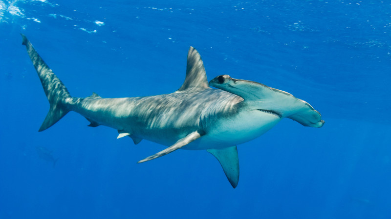 RedBalloon Certified Diving with Hammerhead Sharks - Full Day