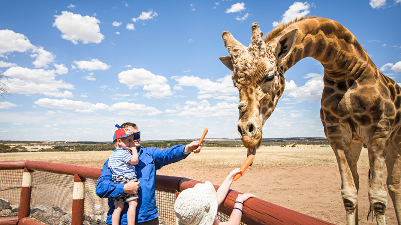 RedBalloon Giraffe Encounter at Monarto Zoo