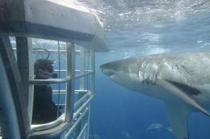 Great White Shark observing