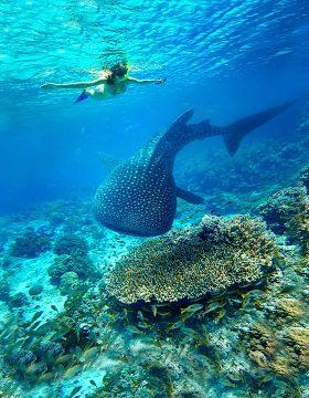 Whale shark Ningaloo Reef, WA